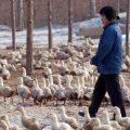 Foie gras Chine